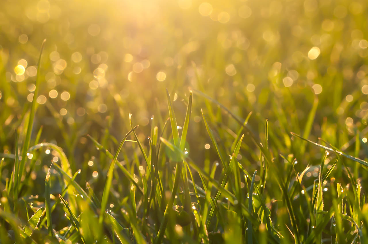 Grass at sunrise