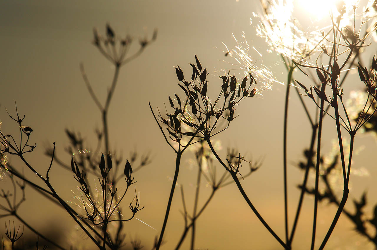 Sunset and cow parsley