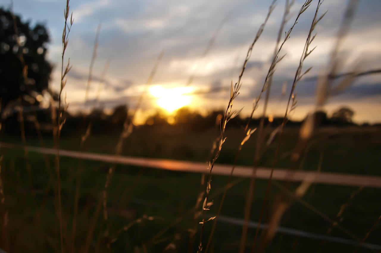 Tall grass at sunset