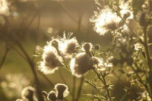Thistles in the evening sun